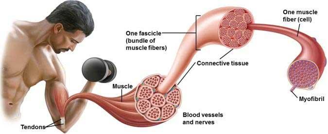 Kako povećati mišićnu masu